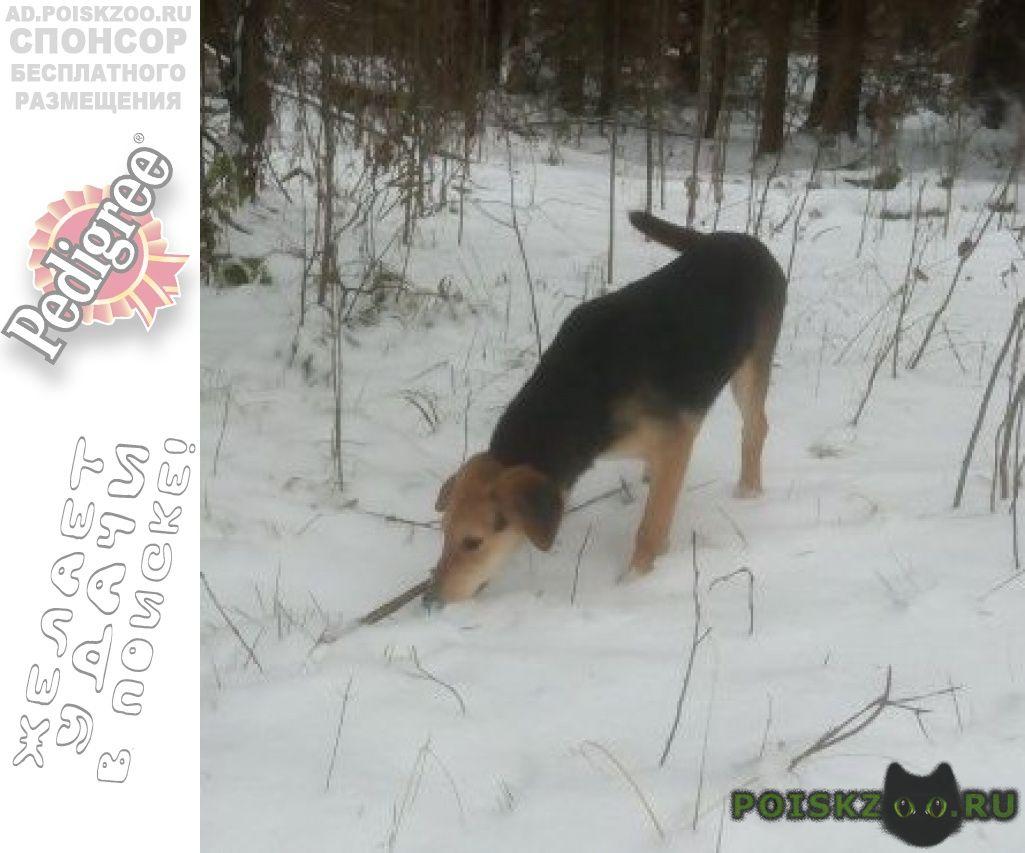 Пропала собака русская гончая г.Егорьевск