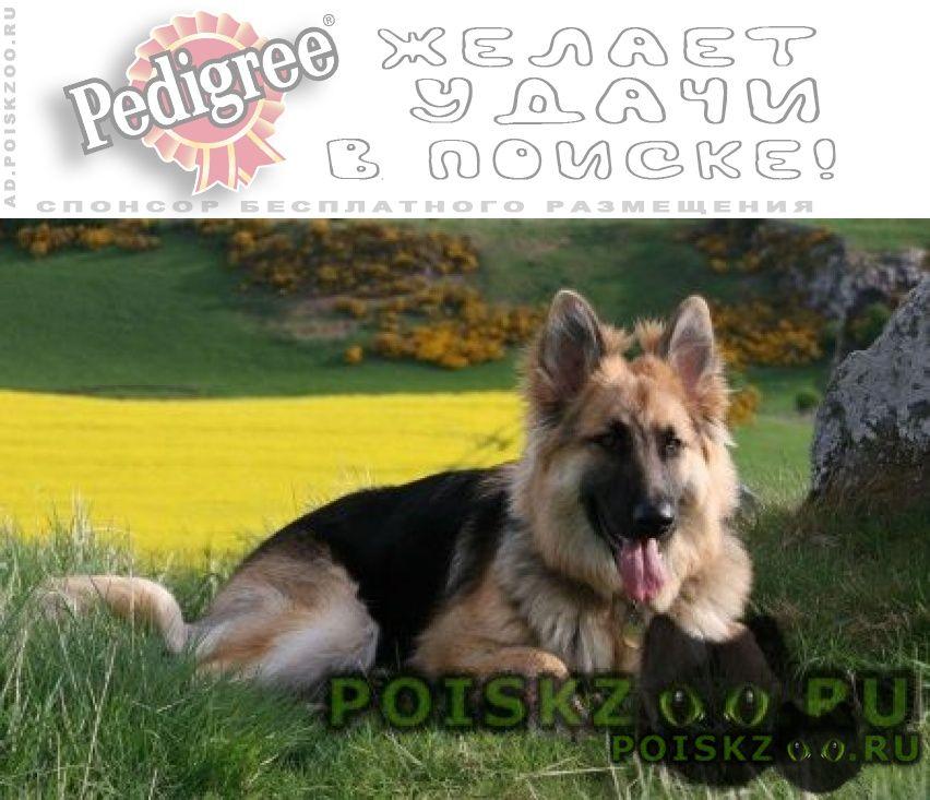 Пропала собака немецкая овчарка г.Тула