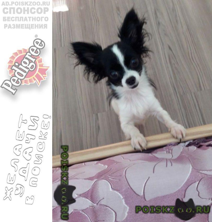 Пропала собака поьерялась маленькая собачка чихуахуа г.Севастополь