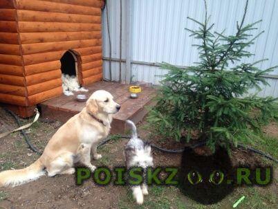 Пропала собака кобель и две собаки золотистый ретривер и г.Нарофоминск