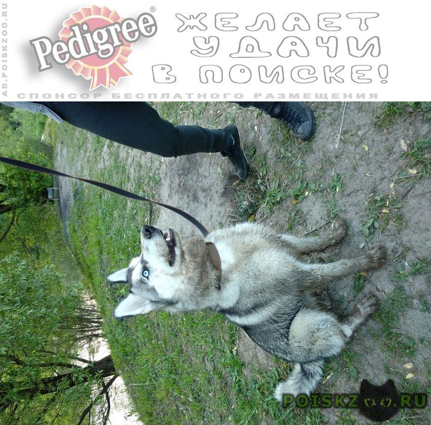 Пропала собака хаски в южном бутово ( ) г.Москва