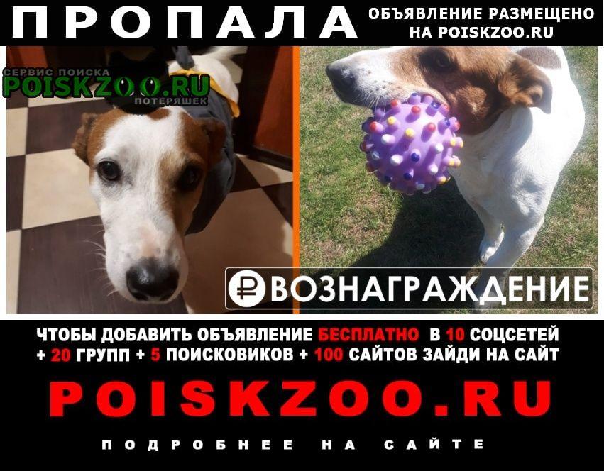 Пропала собака кобель джек рассел Алабино