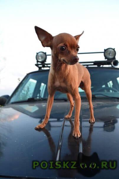 Пропала собака той-терьер, девочка г.Тула