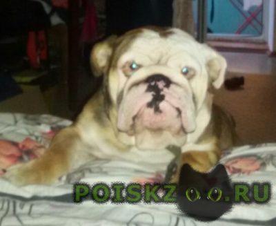 Пропала собака кобель украли английского бульдога г.Симферополь