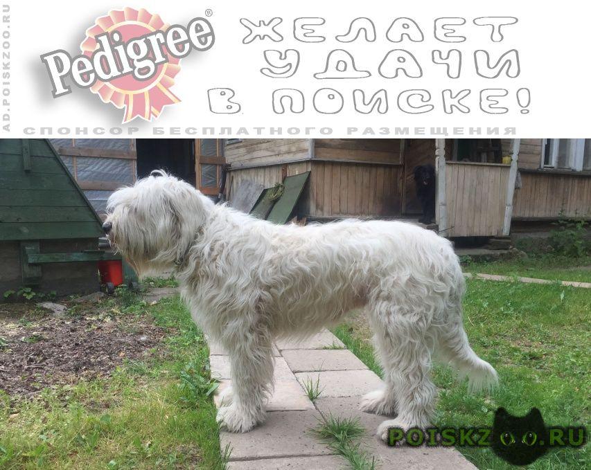 Пропала собака южнорусская овчарка г.Сергиев Посад