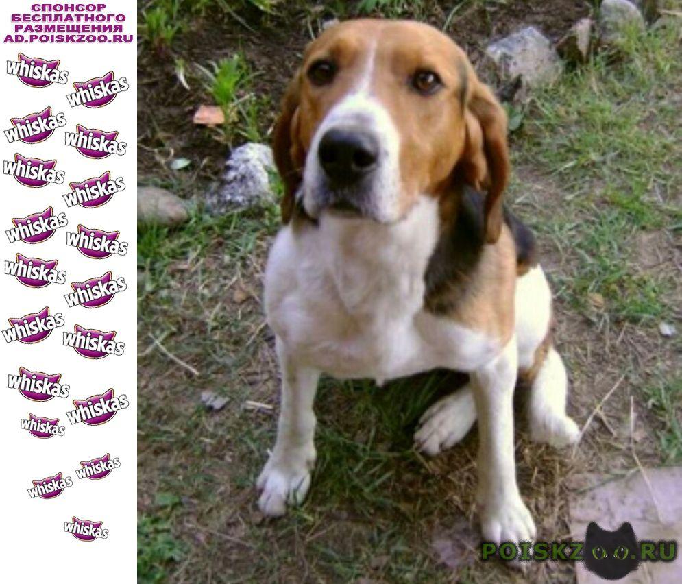Пропала собака русская гончая пегая. г.Новочеркасск