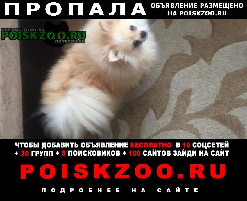 Пропала собака шпиц Курск