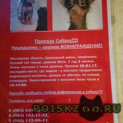 Пропала собака той терье г.Щелково
