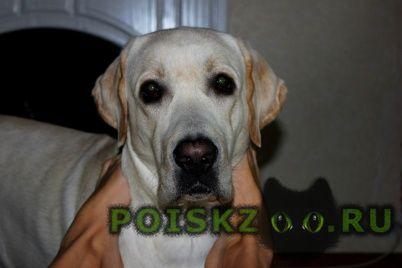 Пропала собака кобель в селе белый крупный лабрадор г.Семилуки