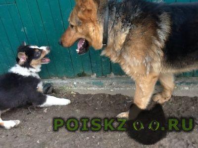 Пропала собака кобель в сходне, овчарка г.Сходня