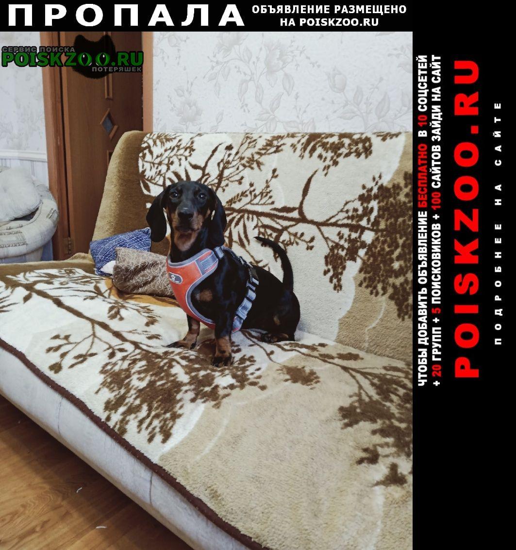 Пропала собака такса Пермь