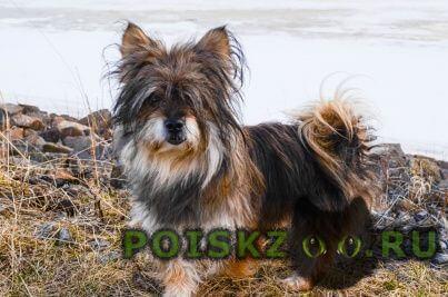 Пропала собака кобель маленькая собачка г.Первоуральск