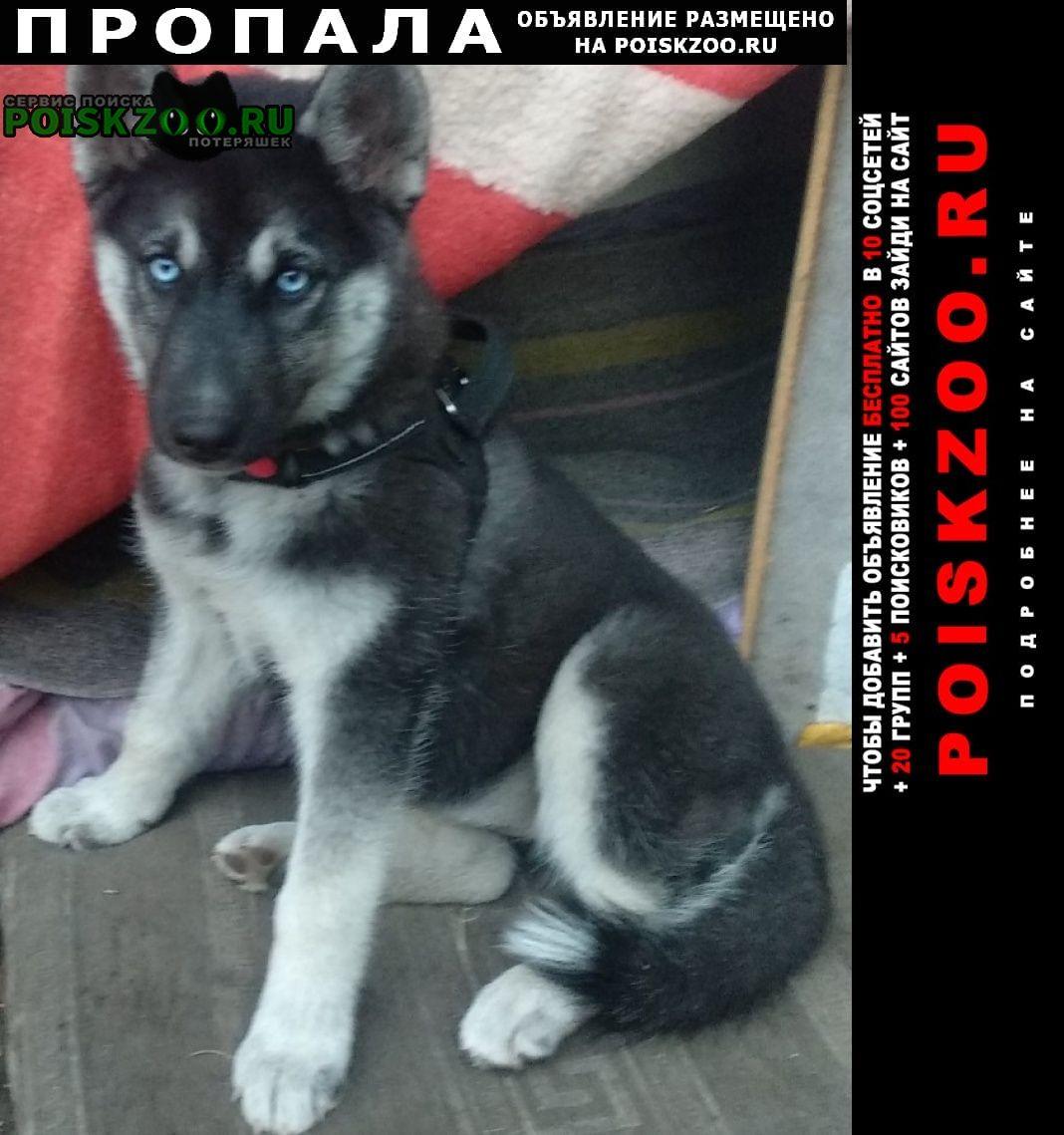 Пропала собака хаски 3 месяца. Хабаровск