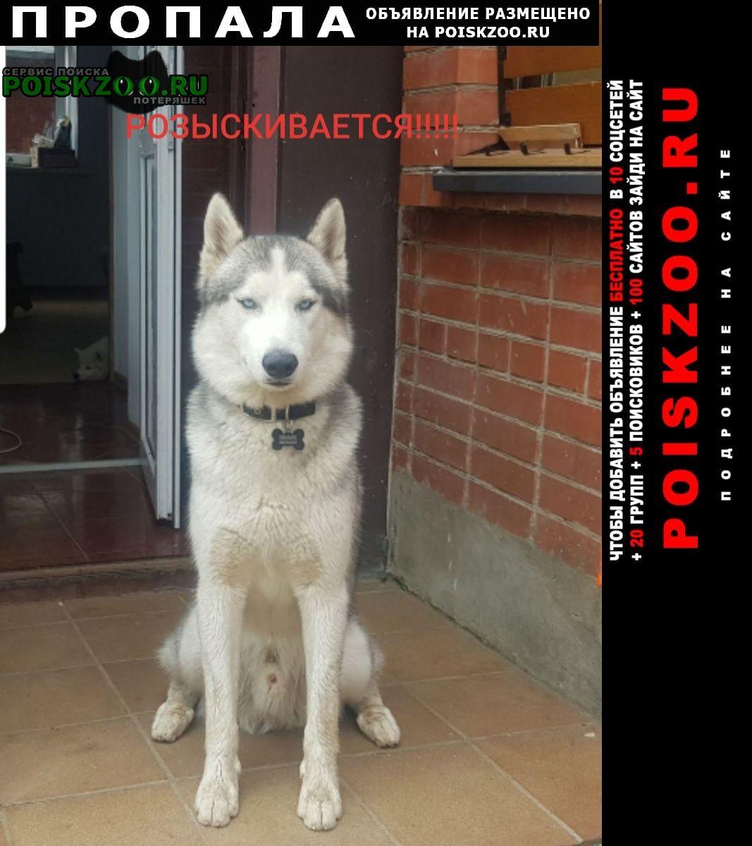 Пропала собака красавец хаски, плюшевый волчонок Одинцово