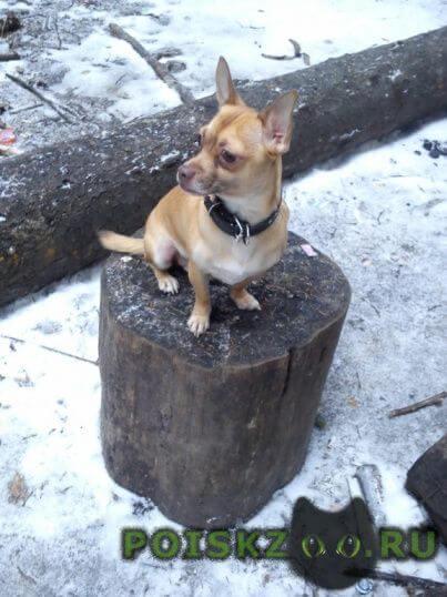 Пропала собака кобель чихуахуа г.Зеленоград
