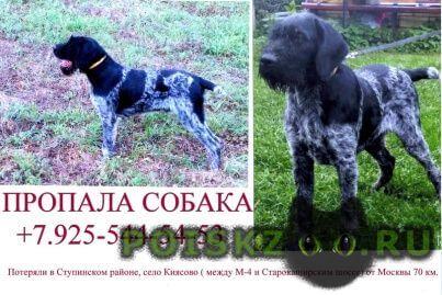 Пропала собака кобель щенок дратхаара, чёрно-пегий г.Ступино