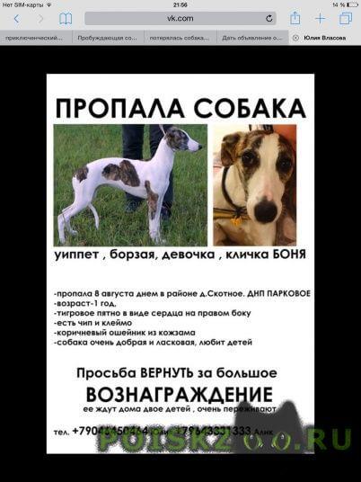 Пропала собака английская борзая уиппет девочка г.Санкт-Петербург