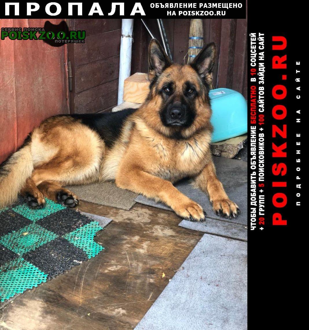 Пропала собака кобель немецкая овчарка илай Солнечногорск