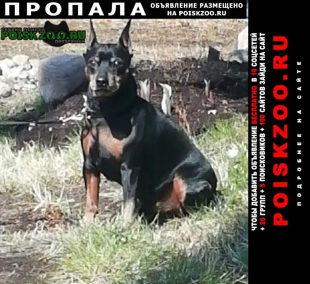 Пропала собака кобель цвергпинчер Тосно