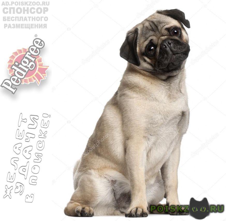 Пропала собака породы мопс г.Новосибирск