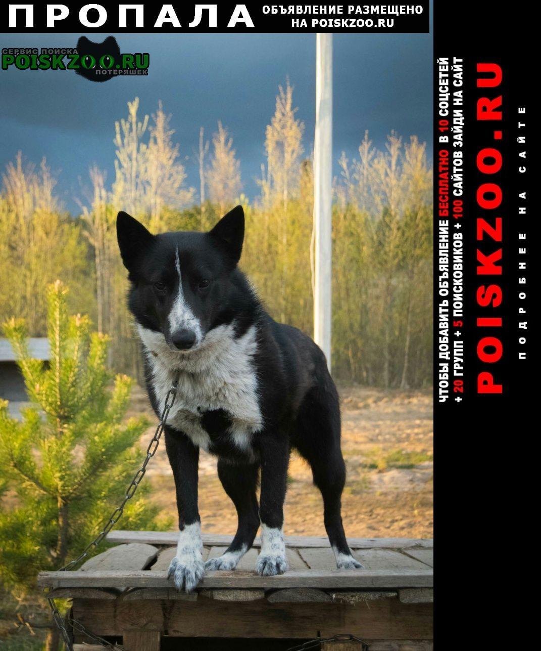 Пропала собака кобель Ломоносов