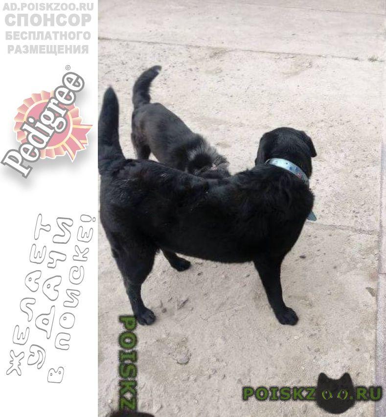 Пропала собака лабрадор-девочка черного цветамес г.Крымск