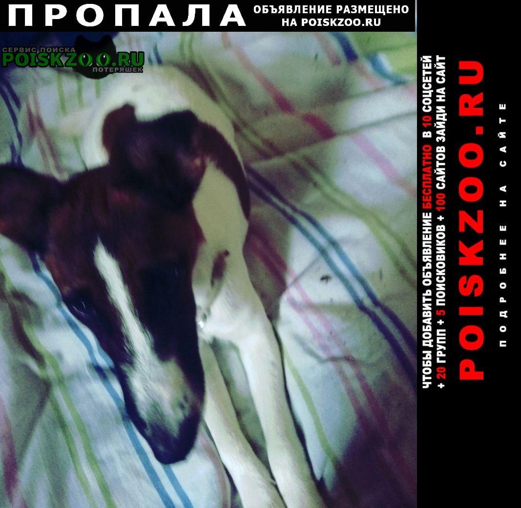 Пропала собака фокстерьер гладкошерстный г.Пролетарский