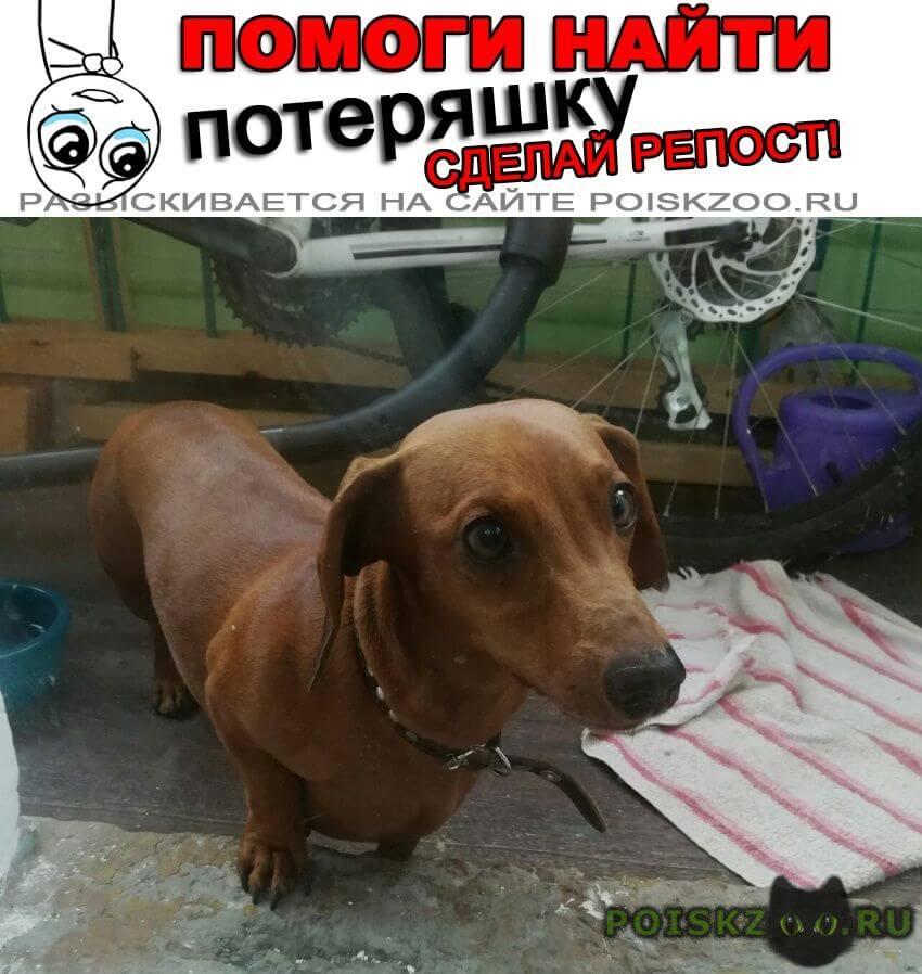 Пропала собака рыжая такса г.Ангарск