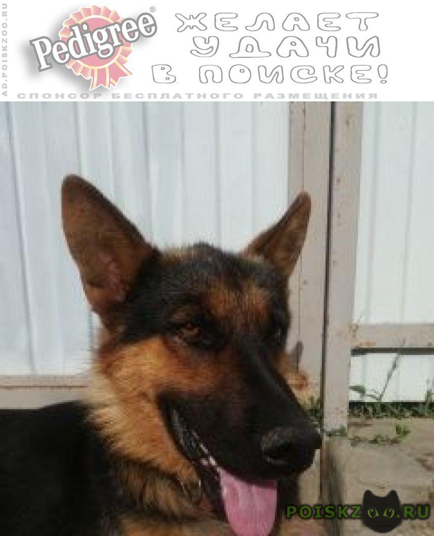 Пропала собака кобель немецкая овчарка г.Кропоткин