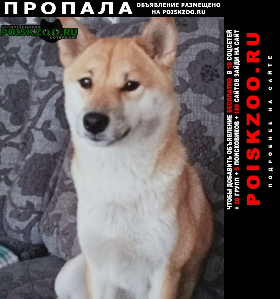 Пропала собака сиба-ину Курск