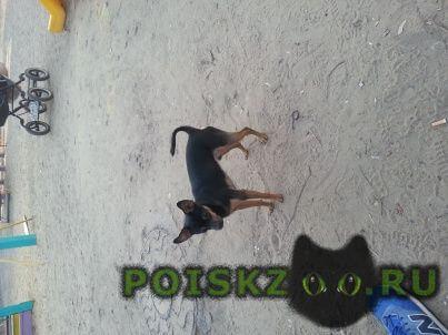 Пропала собака кобель в люберцах.русский той терьер г.Люберцы