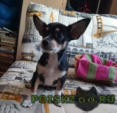 Пропала собака карликовый пинчер, 6 месяцев, девочка г.Новосибирск