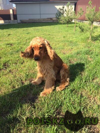 Пропала собака кокер спаниель г.Екатеринбург