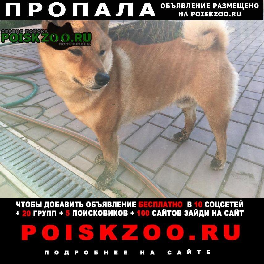 Пропала собака кобель порода сиба-ину Пермь