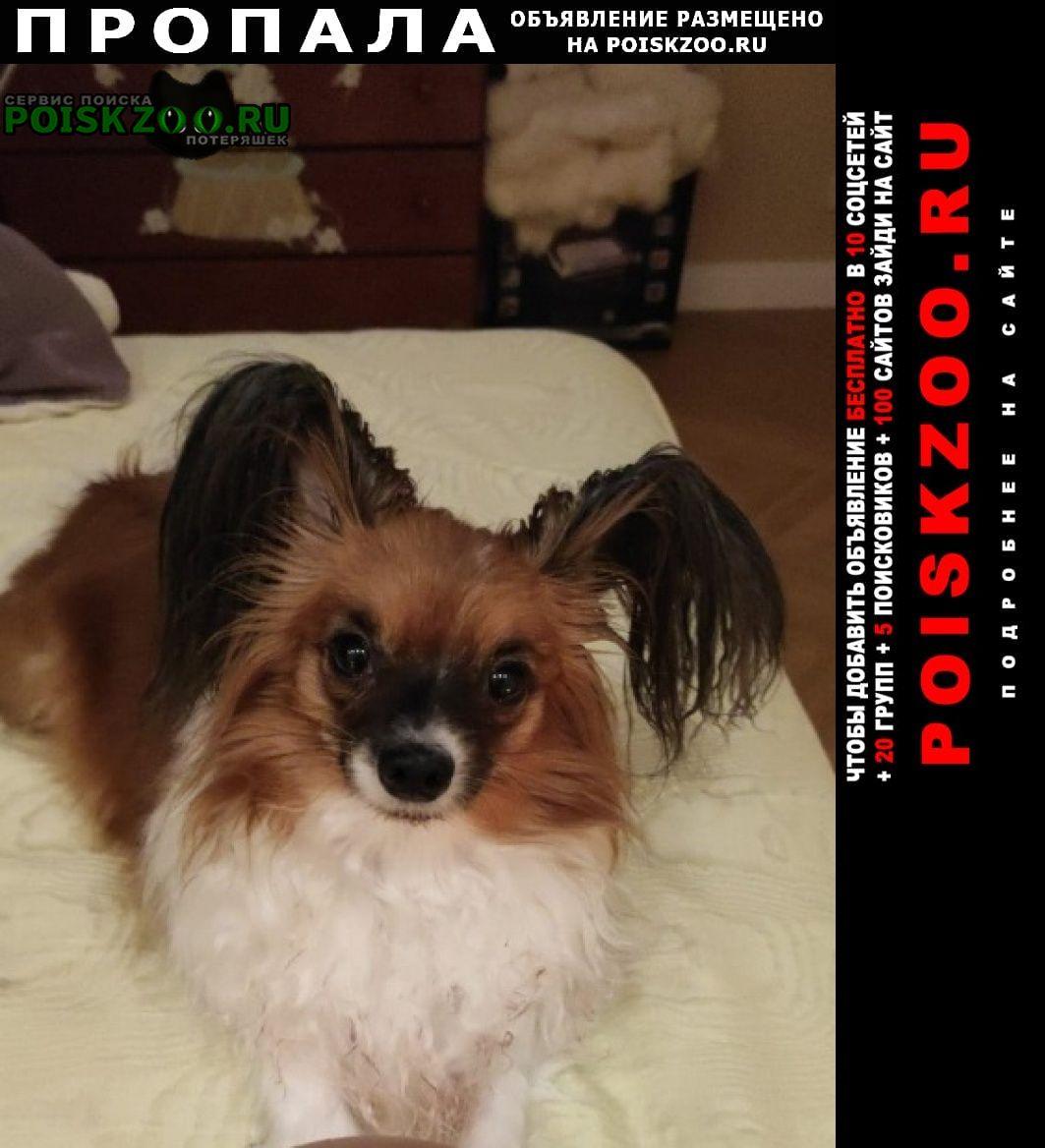 Пропала собака папийон девочка 3, 7 кг бело-рыжая Москва