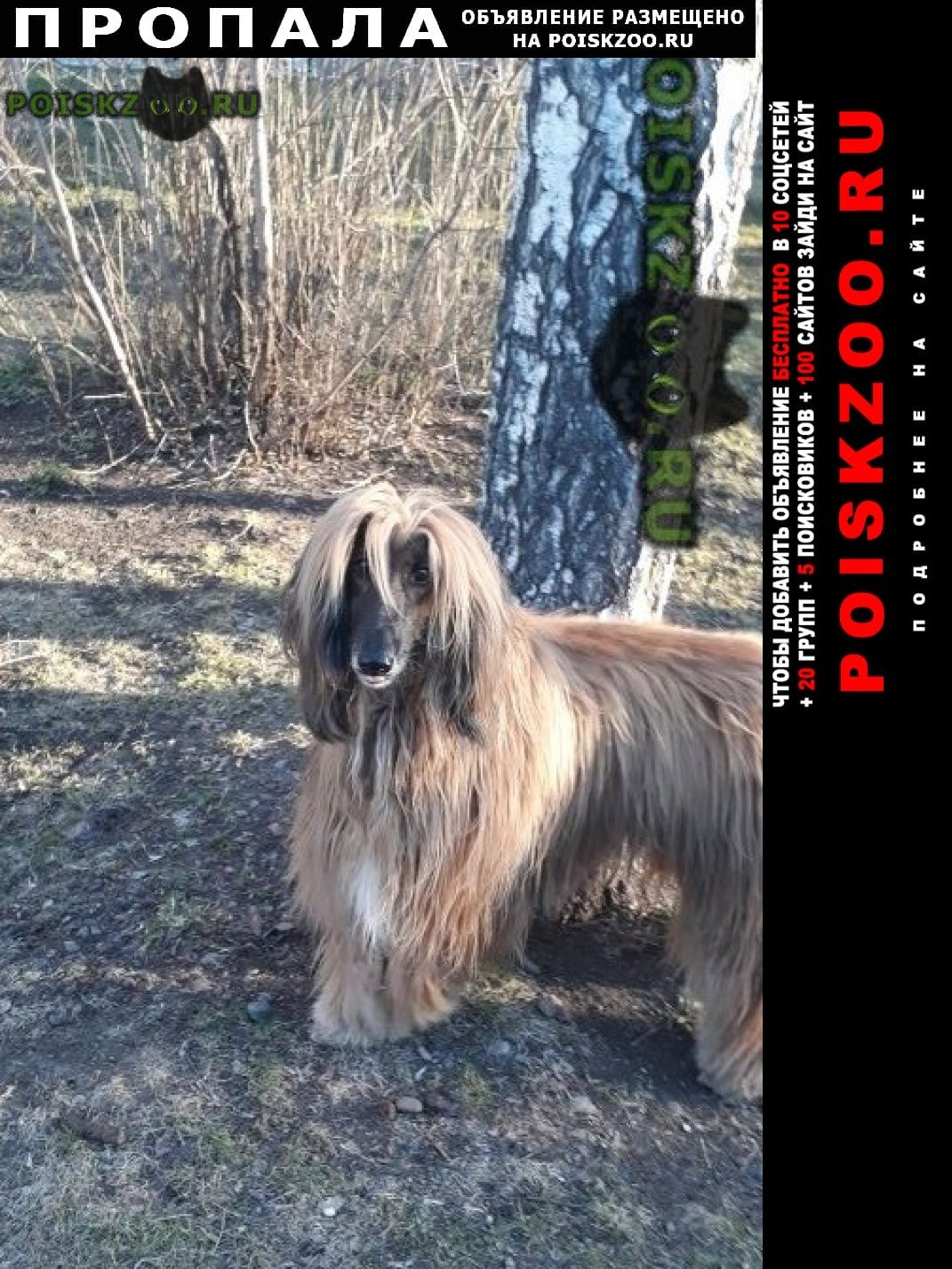 Пропала собака кобель афганская борзая, г.Томск