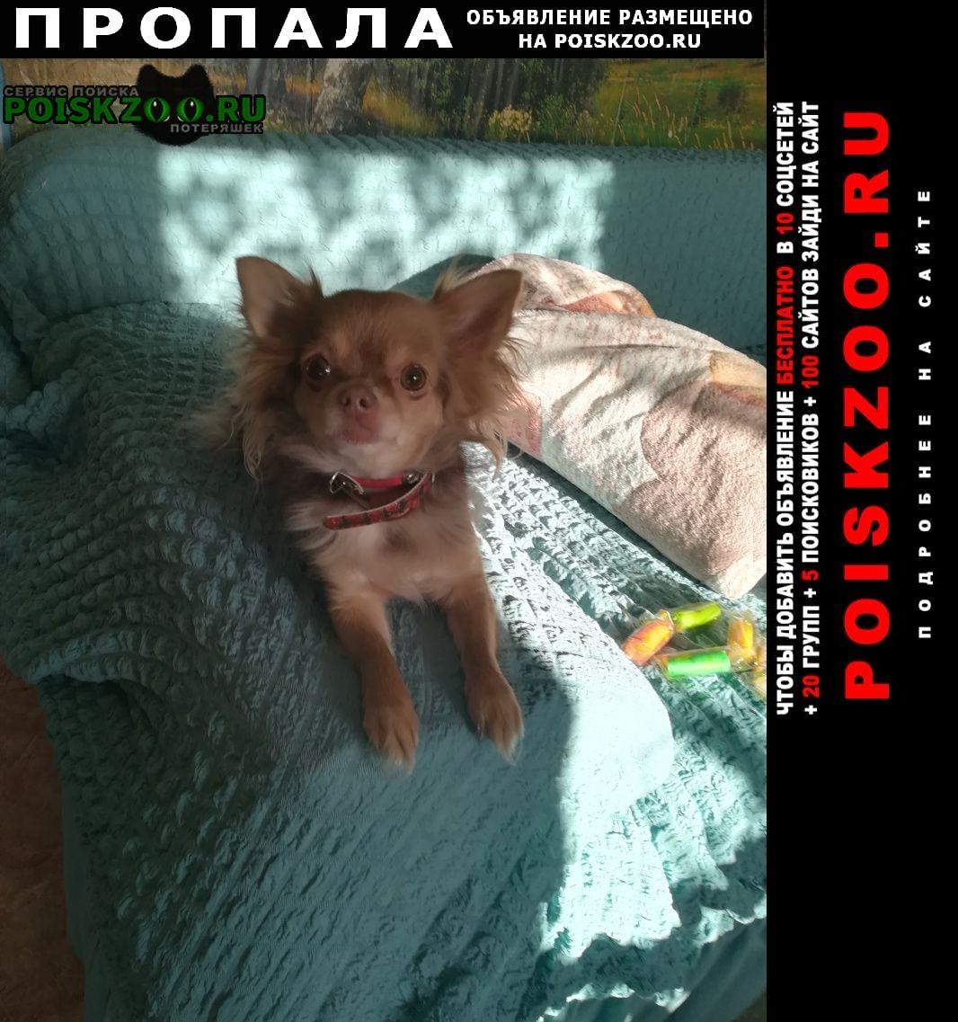 Дзержинск Пропала собака чихуахуа