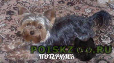 Пропала собака кобель мини йоркширский терьер г.Зеленоград