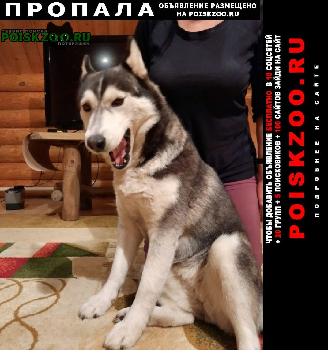 Пропала собака сибирская хаски Минусинск