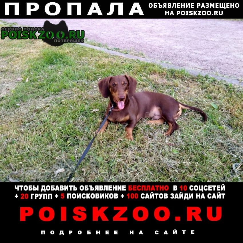 Пропала собака кобель такса Санкт-Петербург