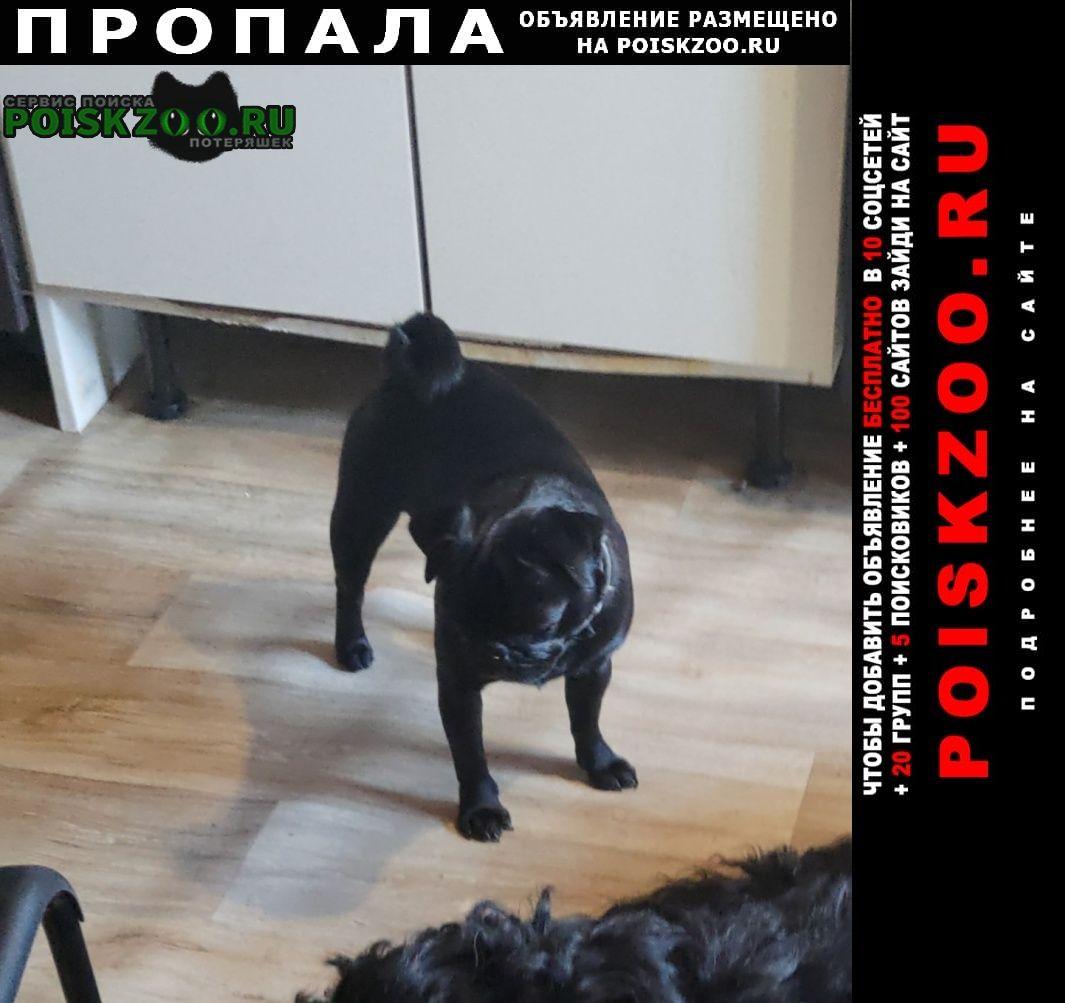 Пропала собака мопс, кличка вики. Москва