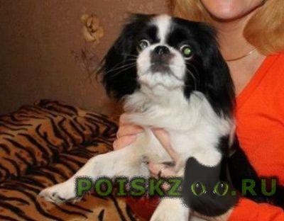 Пропала собака черно-белая с ошейником г.Жуковский