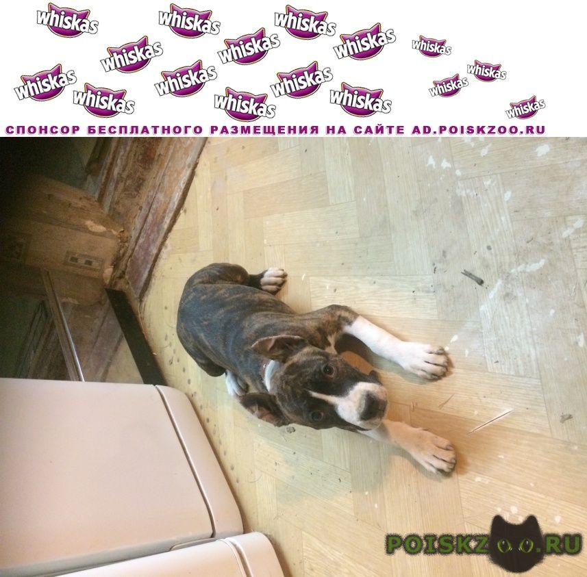 Пропала собака стаффордширский терьер г.Новороссийск