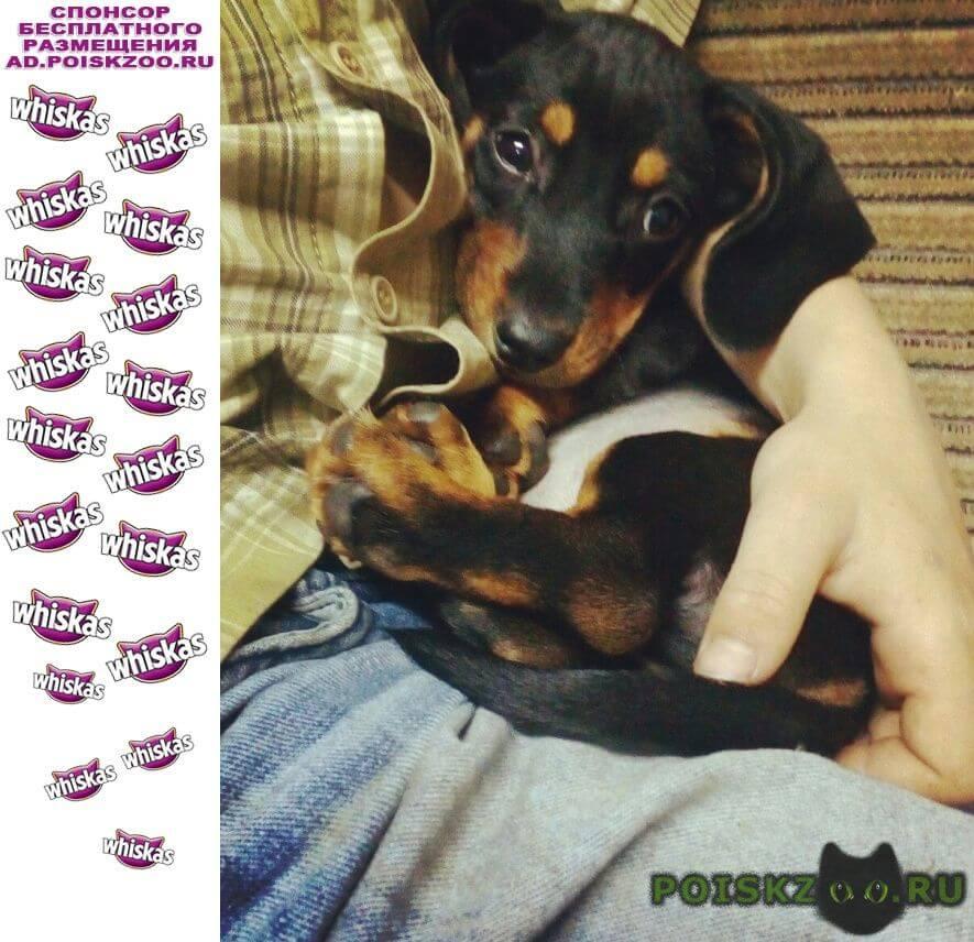 Пропала собака кобель -такса г.Майкоп (Адыгея)
