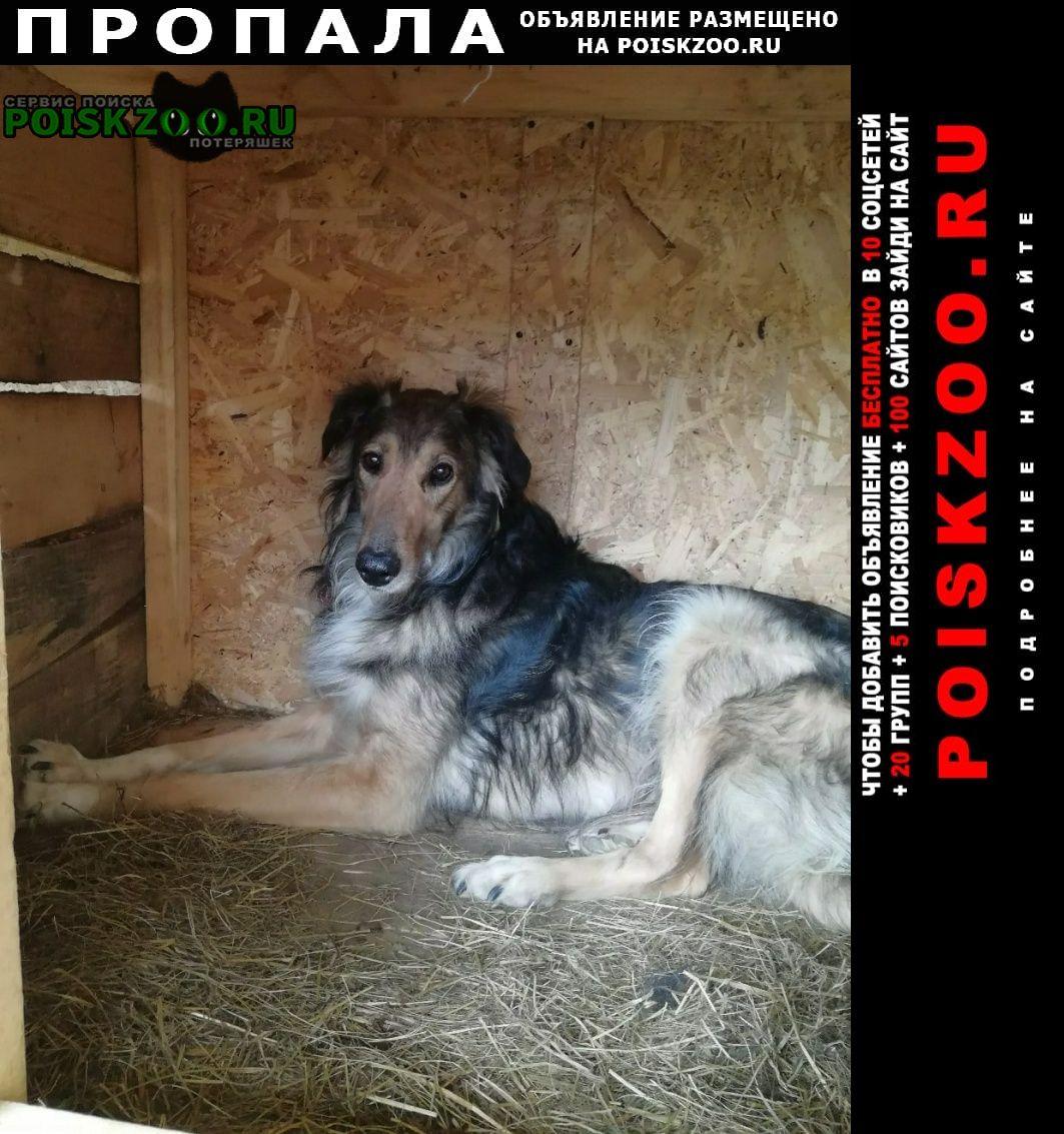 Пропала собака кобель русская псовая борзая (метис) г.Долгопрудный