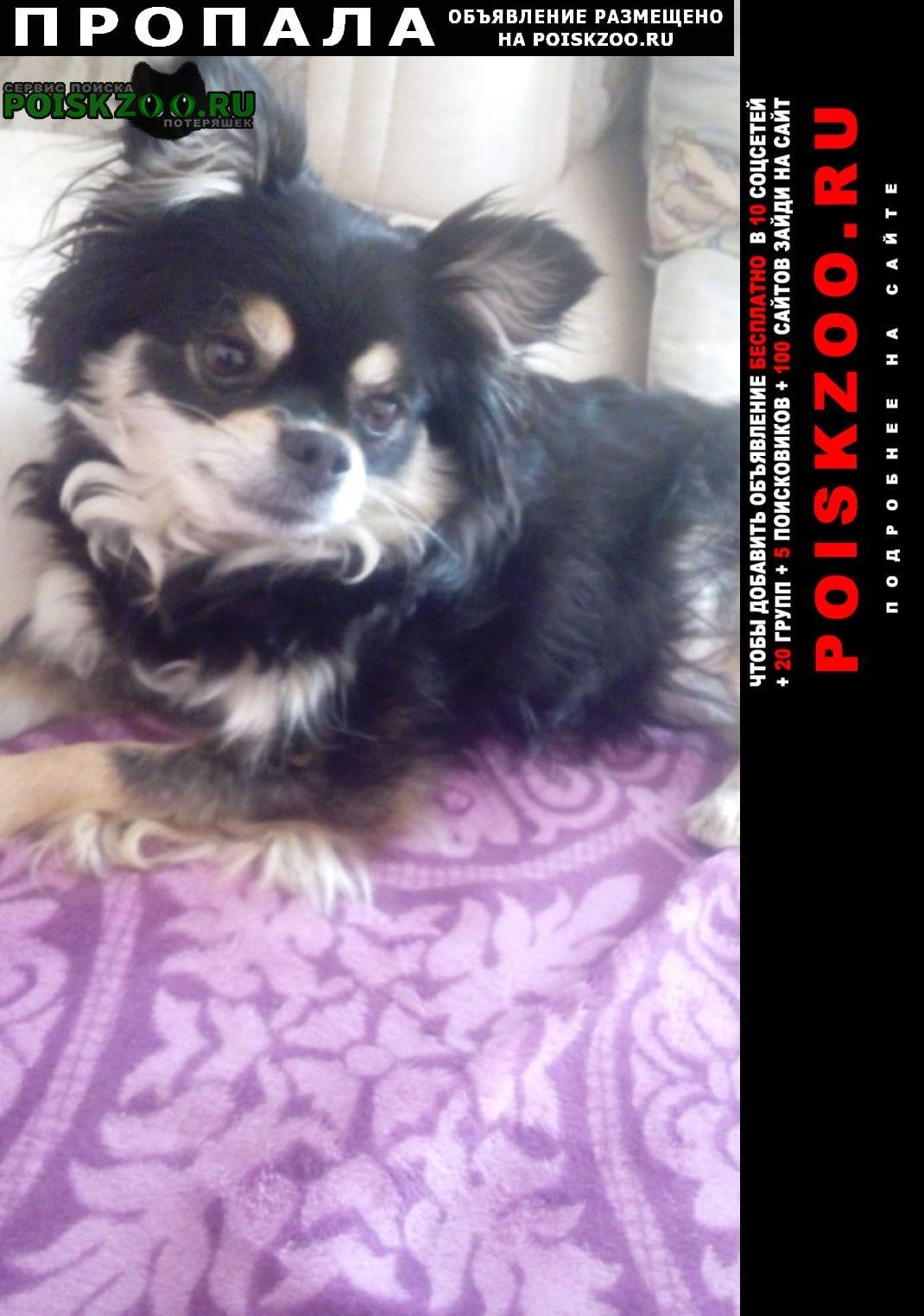 Пропала собака, породы шпиц-девочка, Ставрополь