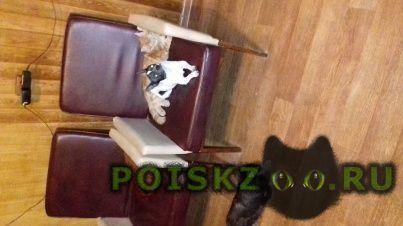 Пропала собака кобель г.Ивантеевка (Московская обл.)