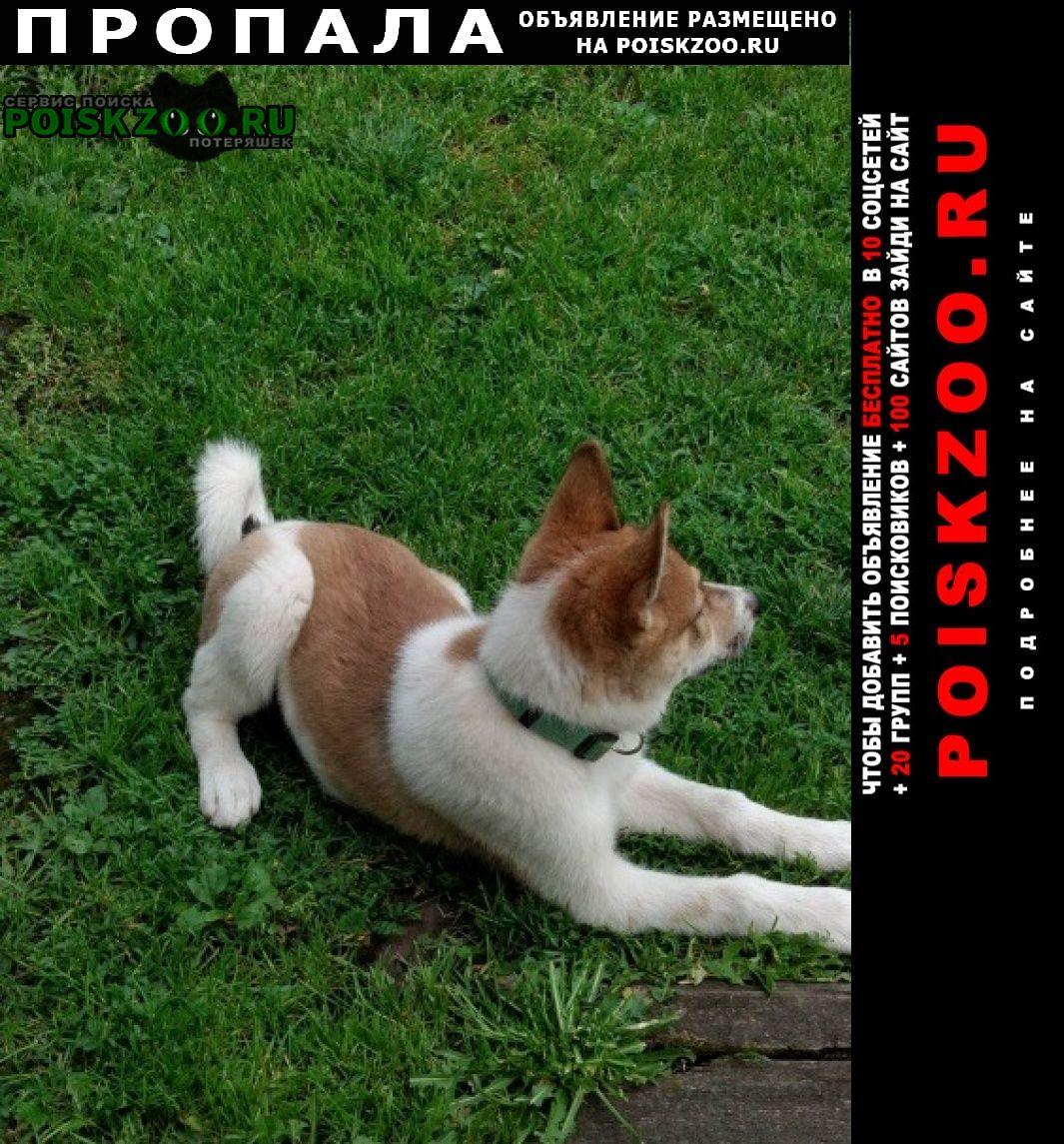 Пропала собака щенок лайки Верхняя Пышма