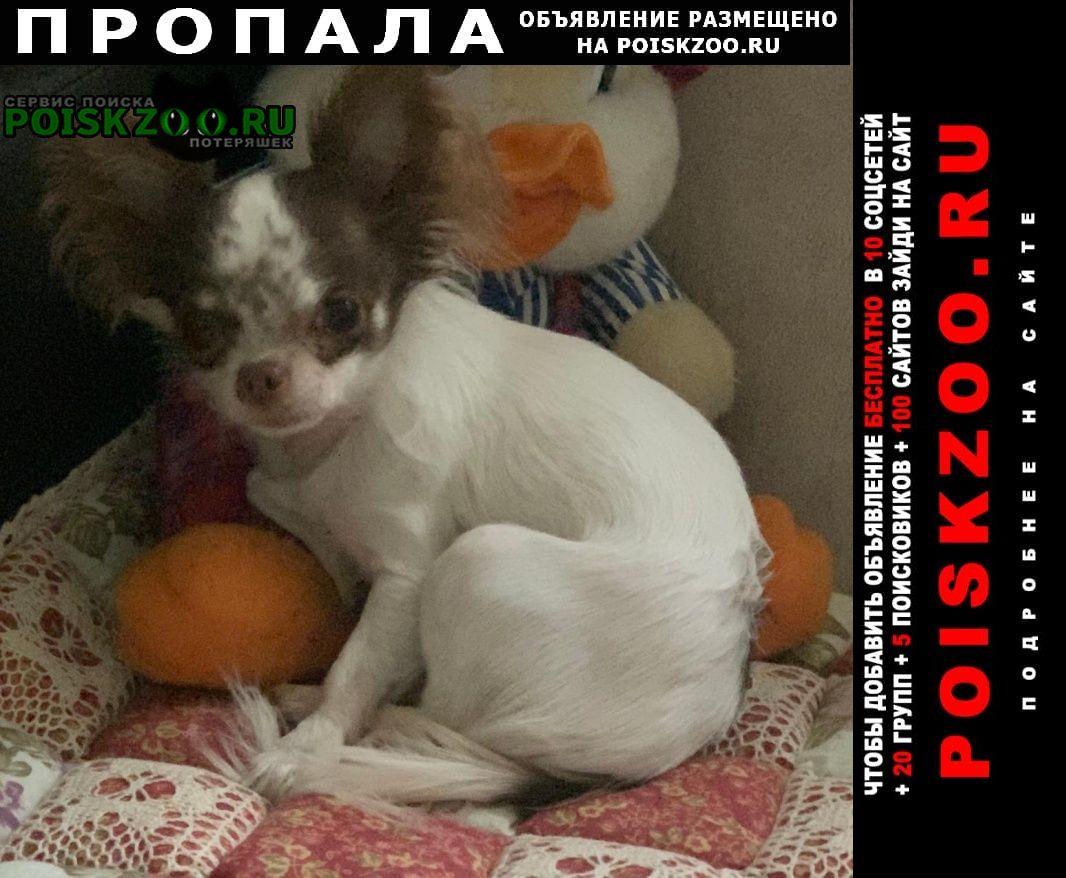 Пропала собака чихуахуа. Нарофоминск