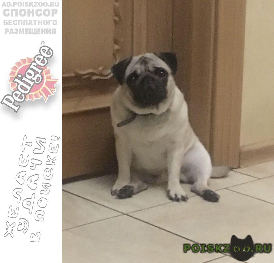 Пропала собака мопс г.Новосибирск